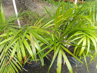 areca palm, top air-purifying plant